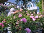 薔薇摘み(D)-2
