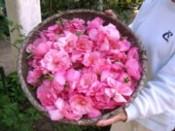 薔薇摘み(F)-2