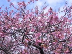 kawatu-sakura